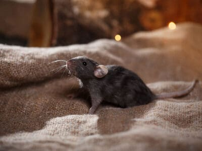 Siatki przeciw szczurom myszom kunom gryzoniom